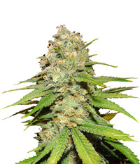 Blk. Seeds Blueberry