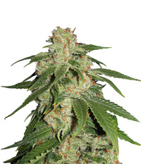 Blk. Seeds Jack Herer