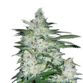 Bulk-seeds-northern-light