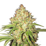 Bulk-seeds-white-russian