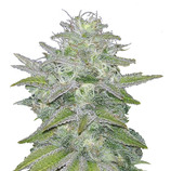 Canadian-seed-lab-canadian-widow-auto