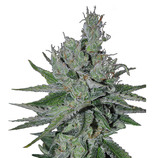Canadian-seed-lab-double-jack-auto