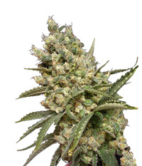 Canadian Seed Lab Original Diesel