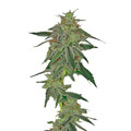 Barney-s-farm-blue-mamonth-auto