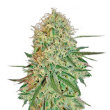 Barney-s-farm-chronic-thunder