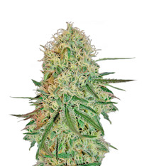 Barney's Farm Chronic Thunder