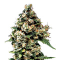 Green-house-seeds-jack-herer