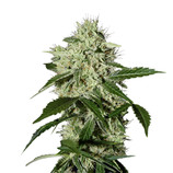 Green-house-seeds-northern-light-automatic