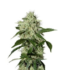 Green House Seeds Northern Light Automatic