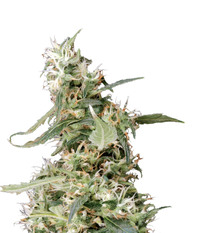 Green House Seeds Arjan's Ultra Haze #1