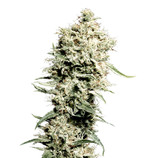 Green-house-seeds-white-rhino