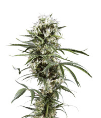 Green House Seeds Super Lemon Haze