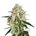 Green-house-seeds-arjan-s-haze-3