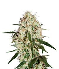 Green House Seeds Arjan's Haze #3