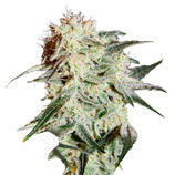Green-house-seeds-arjan-s-strawberry-haze