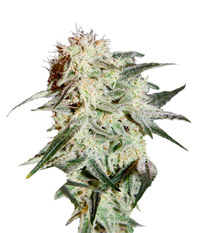 Green House Seeds Arjan's Strawberry Haze
