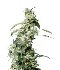 Green House Seeds Arjan's Ultra Haze #2