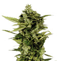 Green-house-seeds-auto-bomb
