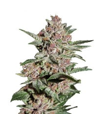 Green House Seeds Bubba Kush