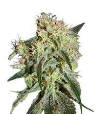 Green House Seeds Damn Sour