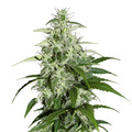 Green-house-seeds-kalashnikova-auto