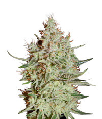 Green House Seeds K-Train