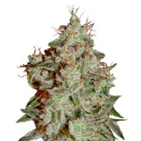 Green-house-seeds-lemon-skunk