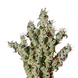 Green-house-seeds-nl5-haze-mist
