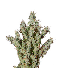 Green House Seeds NL5 Haze Mist
