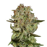 Green-house-seeds-super-bud