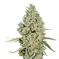 Green-house-seeds-super-critical