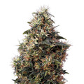 Green-house-seeds-sweet-mango-auto
