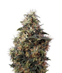 Green House Seeds Sweet Mango Auto