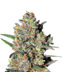 Samsara Seeds Green Love Potion