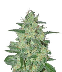 Samsara Seeds Holy Grail 69
