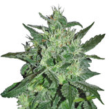 Samsara-seeds-spicy-white-devil