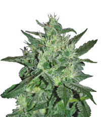 Samsara Seeds Spicy White Devil