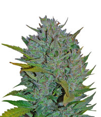 Samsara Seeds Ultraviolet