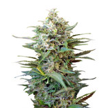 Sweet-seeds-big-devil-xl