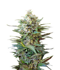 Sweet Seeds Big Devil XL