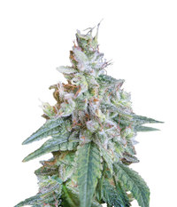 Sweet Seeds Cream Caramel F1 Fast Version