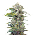 Sweet-seeds-cream-mandarine-auto
