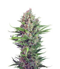 Sweet Seeds Cream Mandarine F1 Fast Version