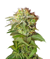 Sweet Seeds Green Poison F1 Fast Version