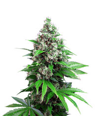 Sweet Seeds Killer Kush F1 Fast Version