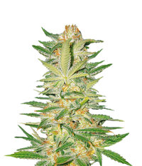 Sweet Seeds S.A.D. Sweet Afgani Delicious F1 Fast Version