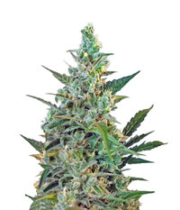 Sweet Seeds Sweet Skunk F1 Fast Version