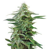 Sweet-seeds-sweet-special-auto