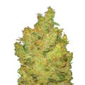 Medical-seeds-jack-la-motta