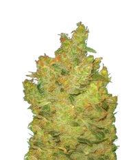 Medical Seeds Jack La Motta